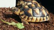 Griechische und Breitrandschildkröten