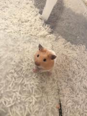 Hamster (Männlich)