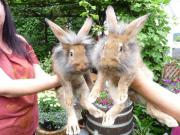 Hasen Kaninchen Stallhasen