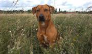 Hund, Rhodesian Ridgeback-