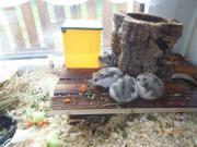 Junge Hamster dsungarische