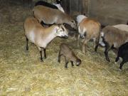 Kamerunschafe (Jungtiere)