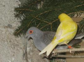 Bild 4 - Kanarienvögel Kanarien verschiedene Farbschläge gelb - Birkenheide Feuerberg