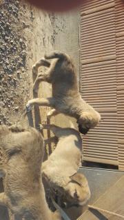 Kangalwelpe 8 Wochen