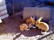 Kaninchen, Löwenköpfchen