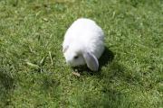 Kaninchen, Schlappohr