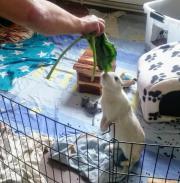 Kaninchendame zu verschenken