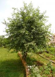 Kirschbaum, Kirschbäumchen, Baum,