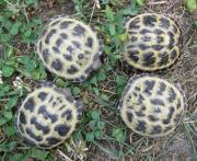 kleine Vierzehenschildkröten Steppenschildkröten russiche Landschildkröten