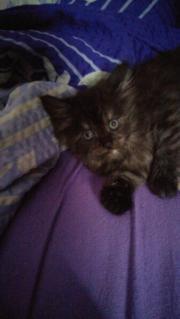 Kleines Kitten sucht