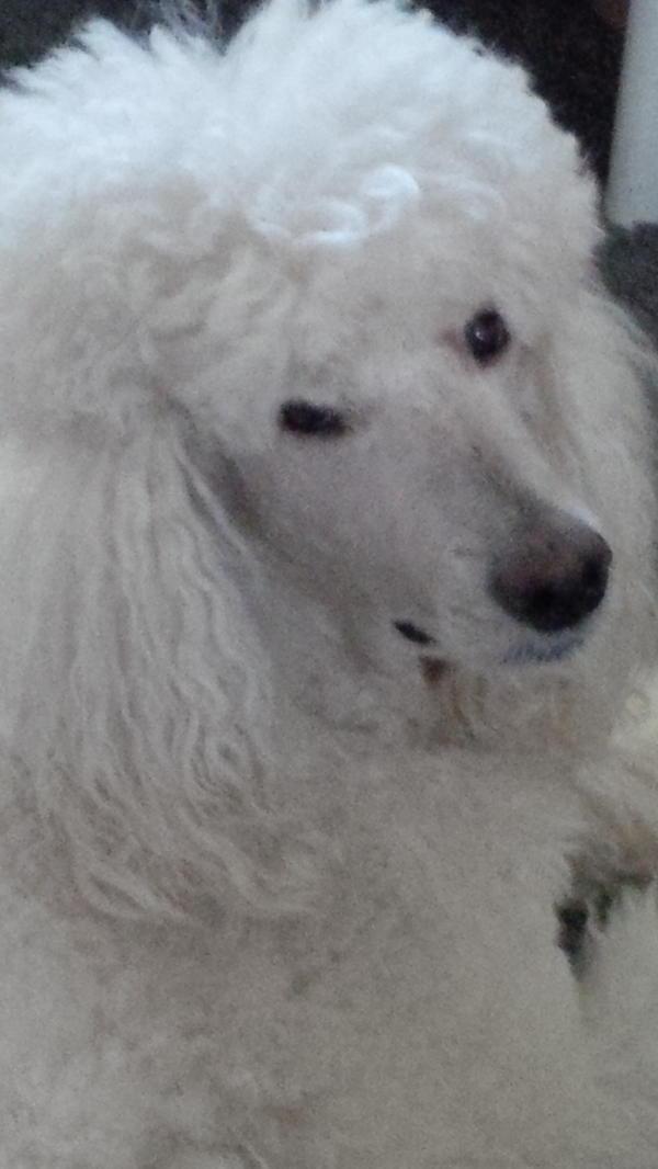 Königspudel (Deckrüde) » Hunde
