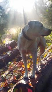 Labrador 3 Jahre