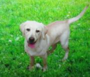 Labrador Hündin blond