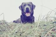 Labrador Rüde - Deckrüde