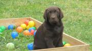 Labrador Welpen vom