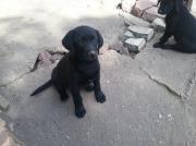 Labradorwelpen, 8 Wo.,