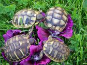 Landschildkröten Thh + Thb