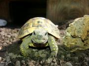 Landschildkröten zuverkaufen