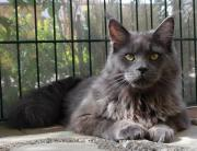 Maine Coon Jungkater,