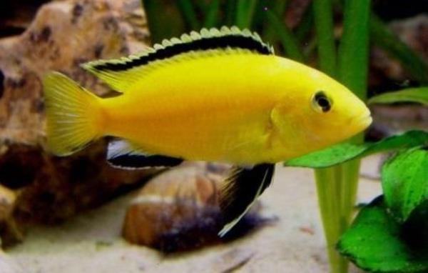 malawisee buntbarsche in obrigheim fische aquaristik kaufen und verkaufen ber private. Black Bedroom Furniture Sets. Home Design Ideas