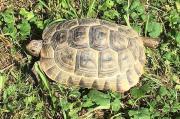 Maurische Landschildkröte, weiblich,