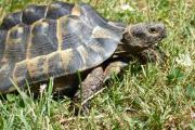 Maurische Landschildkröten (testudo