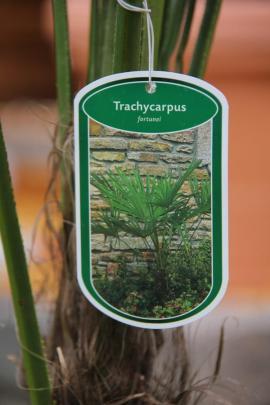 Pflanzen - Palme Trachycarpus Fortunei