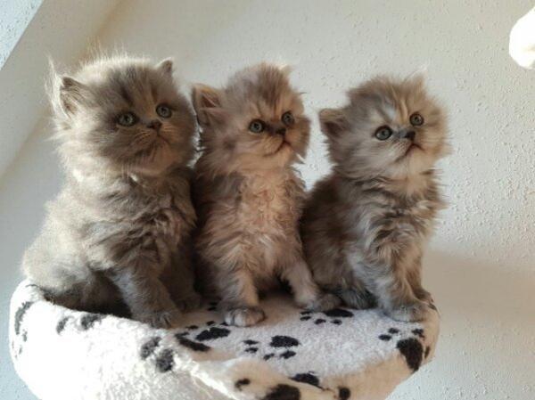 perser kitten baby katze in speyer katzen kaufen und. Black Bedroom Furniture Sets. Home Design Ideas