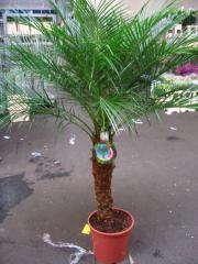 Phönix Palmen Zwergdattelpalme