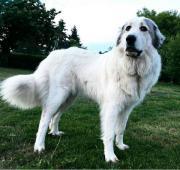 Pyrenäenberghund x Leonberger