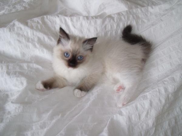 ragdoll baby s herrlich blaue augen mit stammbaum in haldensleben katzen kaufen und. Black Bedroom Furniture Sets. Home Design Ideas