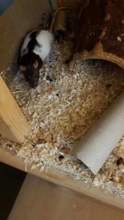 Ratten böcke