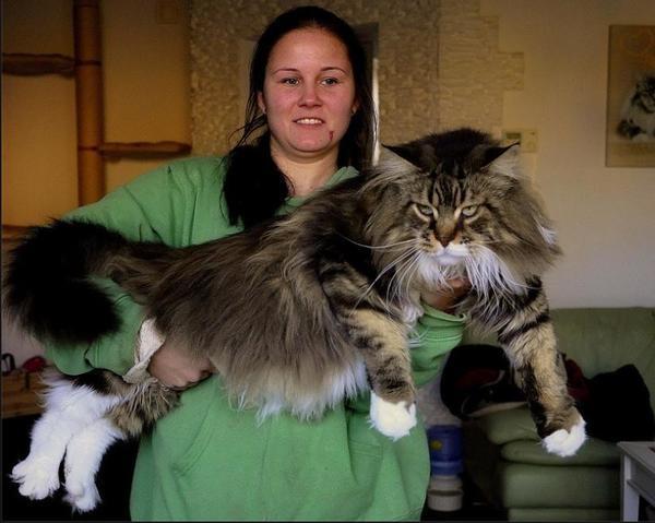Reinrassige Maine Coon Kitten Mit Ahnentafel In Wegberg Katzen Kaufen Und Verkaufen 252 Ber