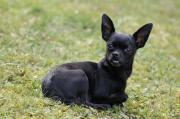 Roy, junger Chihuahua