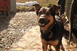 Bild 4 - SARIK Schäferhund Mischling - würde gerne - Rabenau