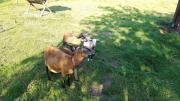 Schafe Barbardos-Kamerun