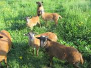 Schafe Kameruner Lämmer
