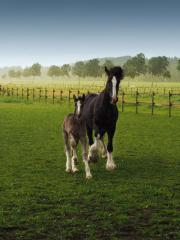 Shire Horse Hengstfohlen