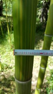 Solitär Bambus 20
