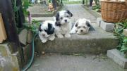 Süße Hundewelpen