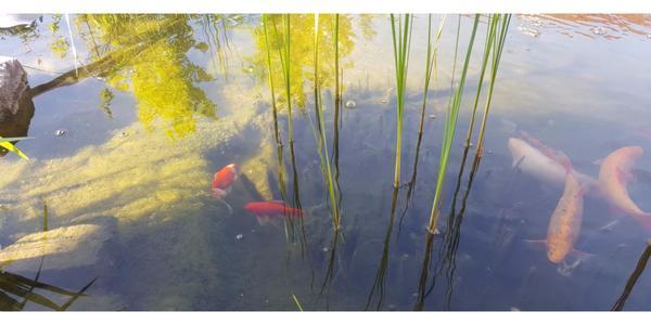 Schleierschwanz goldfisch kleinanzeigen kaufen verkaufen for Teichfische algenfresser