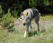 Tschechoslowakischer Wolfshund Welpen -