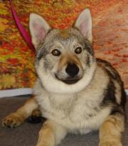 tschechoslowakishe wolfshund
