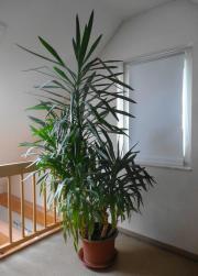 yucca palme pflanze zimmerpflanze wintergarten in zirndorf pflanzen kaufen und verkaufen ber. Black Bedroom Furniture Sets. Home Design Ideas