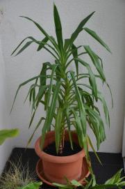 Yucca Pflanze, ca.