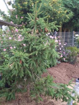 Pflanzen - Zapfenfichte Picea abies Acrocona ca