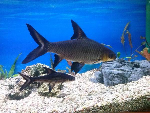 kuchenmobel zu verschenken nurnberg : Zu verschenken Haibarbe Fisch ca. 20 cm lang (ist f?r meine Aquarium ...